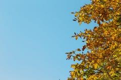 Cisawy drzewo w jesieni Obraz Stock