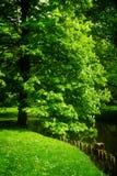 Cisawy drzewo w parku Obraz Stock