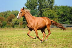 Cisawy koń Fotografia Royalty Free