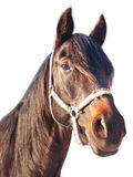 cisawy koński portret Fotografia Royalty Free