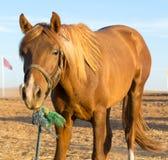 cisawy konia zdjęcie royalty free