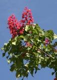 Cisawy kwiat Zdjęcia Stock