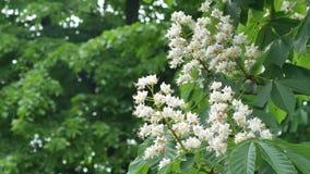 Cisawy kwiatu kasztan na zielonym tle zbiory