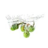Cisawy pluśnięcie na wodzie, odosobnionej na białym tle Obraz Royalty Free
