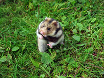 Ciscaucasian hamster. (Mesocricetus raddei) on natural background Royalty Free Stock Image