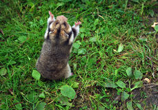 Ciscaucasian hamster. (Mesocricetus raddei) on natural background Stock Photos