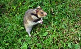 Ciscaucasian hamster Stock Image