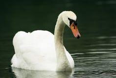 Cisne imagens de stock