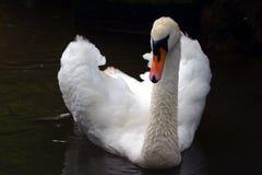 Cisne imagen de archivo libre de regalías