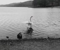 Cisne fotografía de archivo