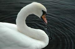 Cisne Imagens de Stock Royalty Free