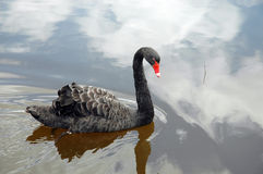 Cisne. Imagem de Stock Royalty Free