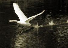 Cisne Fotografia de Stock