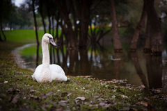 Cisne Foto de Stock Royalty Free