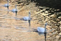 A cisne Fotografia de Stock