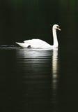 A cisne Imagens de Stock Royalty Free