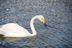 A cisne Foto de Stock Royalty Free