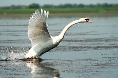 Cisne Fotos de Stock Royalty Free