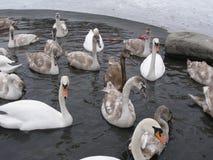 Cisne aceitoso entre otros Fotos de archivo