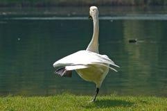 Cisne acrobático foto de archivo
