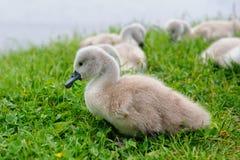 Cisne adorável do bebê com grupo de irmãos imagens de stock