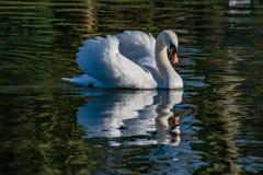Cisne adulta com reflexão no lago durante o inverno imagem de stock royalty free