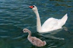 Cisne adulta e nova no lago Powidz poland Foto de Stock