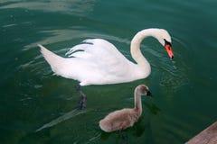 Cisne adulta e nova no lago Powidz poland Fotos de Stock