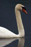 Cisne adulta Headshot Imagem de Stock