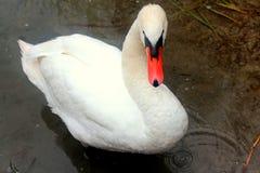 Cisne adulta no lago Powidz poland Imagens de Stock