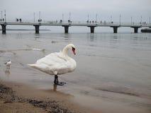 Cisne adulto blanco en la playa por el mar foto de archivo