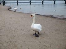 Cisne adulto blanco en la playa por el mar fotos de archivo