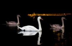 Cisne adulto con dos pollos del cisne grandes en el agua oscura Foto de archivo