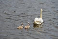 Cisne adulto con dos pollos del cisne que nadan en el lago Fotografía de archivo