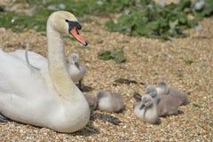 Cisne adulto que consolida los pollos del cisne, Swannery de Abbotsbury Imágenes de archivo libres de regalías