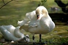 Cisne adulto que consolida los pollos del cisne, Swannery de Abbotsbury Imagen de archivo libre de regalías