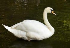 Cisne adulto sobre el agua oscura Fotografía de archivo
