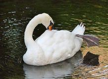 Cisne agraciado Imagen de archivo