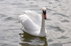 Cisne agraciado blanco en la superficie del agua imagenes de archivo