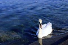 Cisne agradável Fotos de Stock Royalty Free