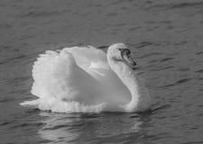 Cisne agresivo blanco y negro Fotos de archivo