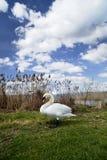 Cisne al lago Foto de archivo libre de regalías