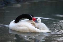 Cisne americano Foto de archivo libre de regalías