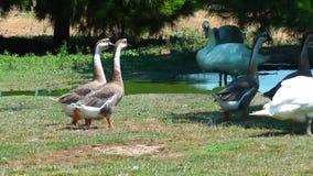 Cisne animal del pájaro en naturaleza almacen de video