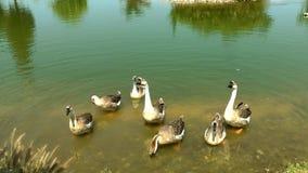 Cisne animal del pájaro en naturaleza almacen de metraje de vídeo