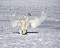 Cisne blanco Imagen de archivo