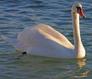 Cisne blanco. Fotografía de archivo