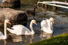 Cisne blanco Fotos de archivo libres de regalías