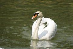 Cisne blanco Imágenes de archivo libres de regalías