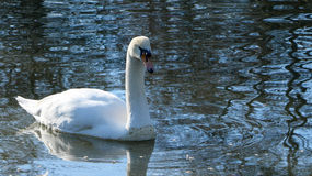 Cisne blanco Foto de archivo libre de regalías